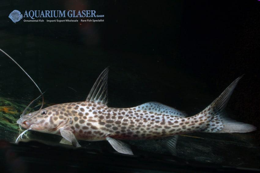 Aguarunichthys torosus - Stierkopfwels 3
