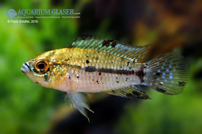 Apistogrammoides pucallpaensis - Pucallpa-Zwergbuntbarsch 5