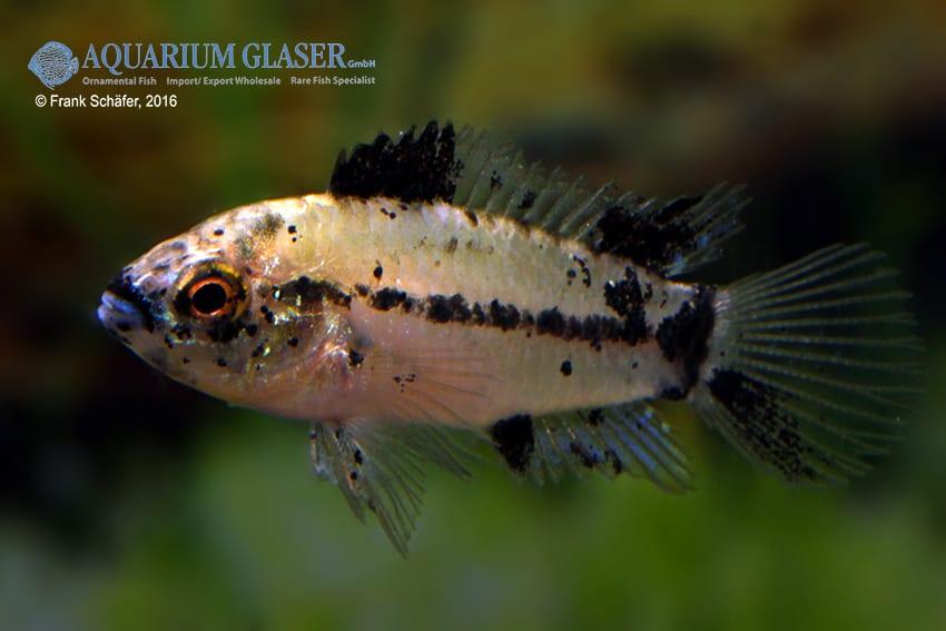 Apistogrammoides pucallpaensis - Pucallpa-Zwergbuntbarsch 6