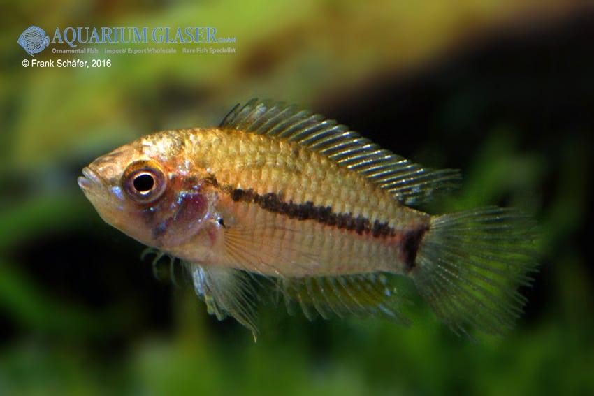 Apistogrammoides pucallpaensis - Pucallpa-Zwergbuntbarsch 4