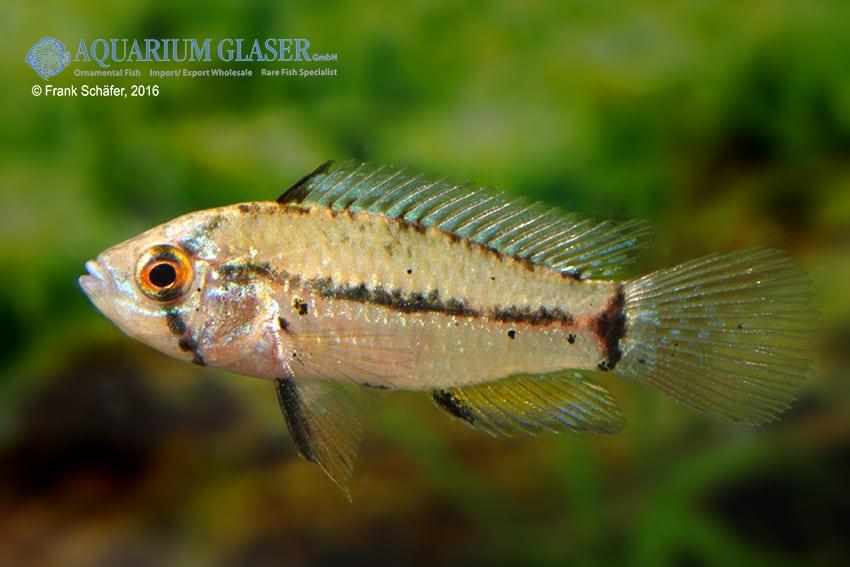 Apistogrammoides pucallpaensis - Pucallpa-Zwergbuntbarsch 2