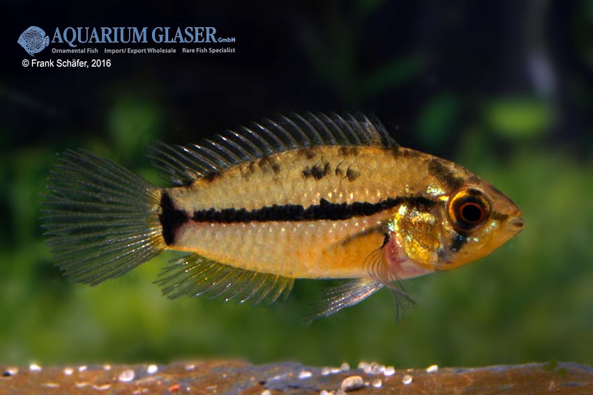 Apistogrammoides pucallpaensis - Pucallpa-Zwergbuntbarsch 3
