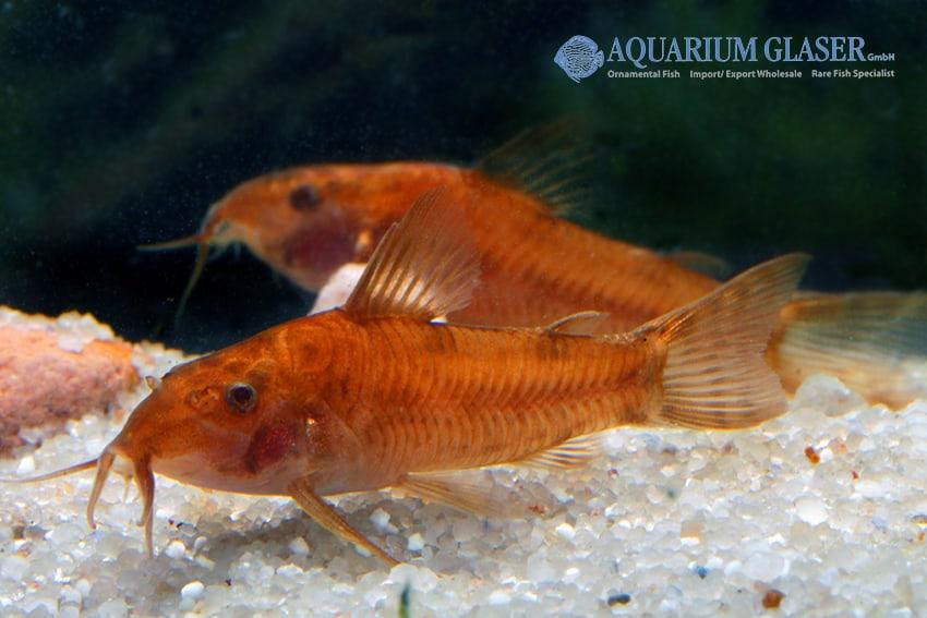 Aspidoras sp. C 125 - Goldener Schmerlenpanzerwels 4