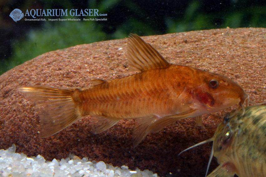 Aspidoras sp. C 125 - Goldener Schmerlenpanzerwels 3