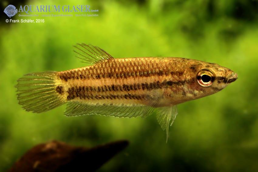 Betta simplex - Krabi-Kampffisch 2
