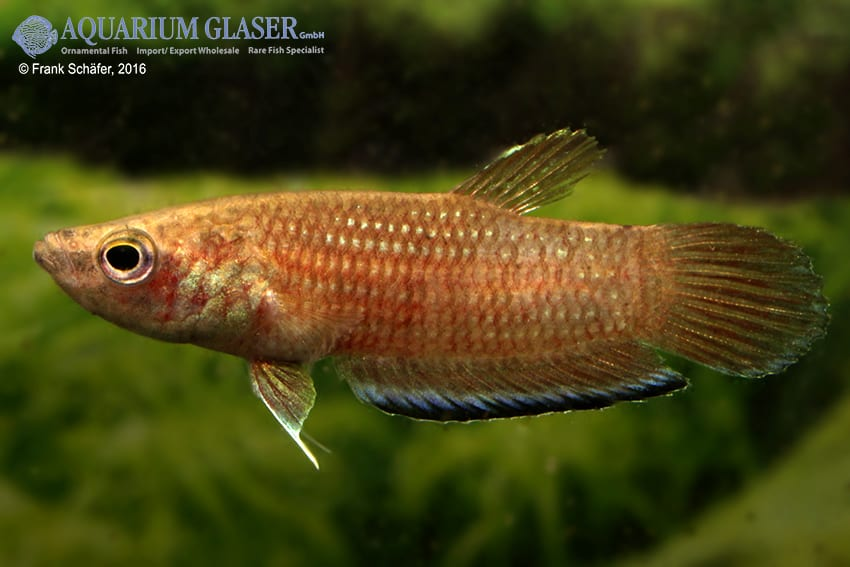 Betta simplex - Krabi-Kampffisch 6