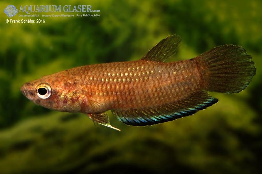 Betta simplex - Krabi-Kampffisch 7