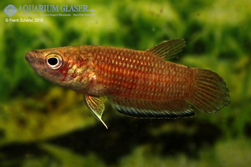 Betta simplex - Krabi-Kampffisch 8