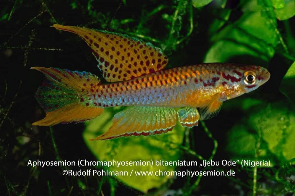Aphyosemion bitaeniatum - Zweistreifen-Prachtkärpfling 9