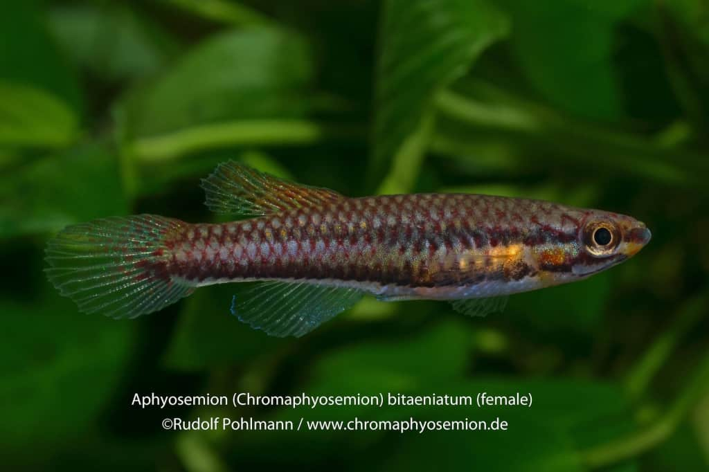 Aphyosemion bitaeniatum - Zweistreifen-Prachtkärpfling 8