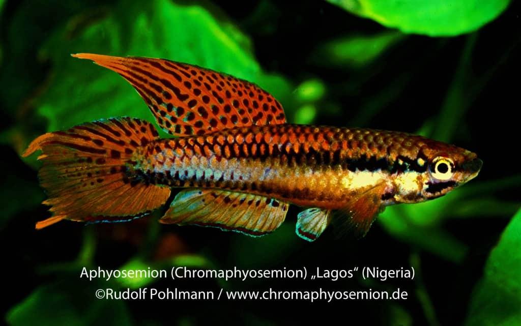 Aphyosemion bitaeniatum - Zweistreifen-Prachtkärpfling 14