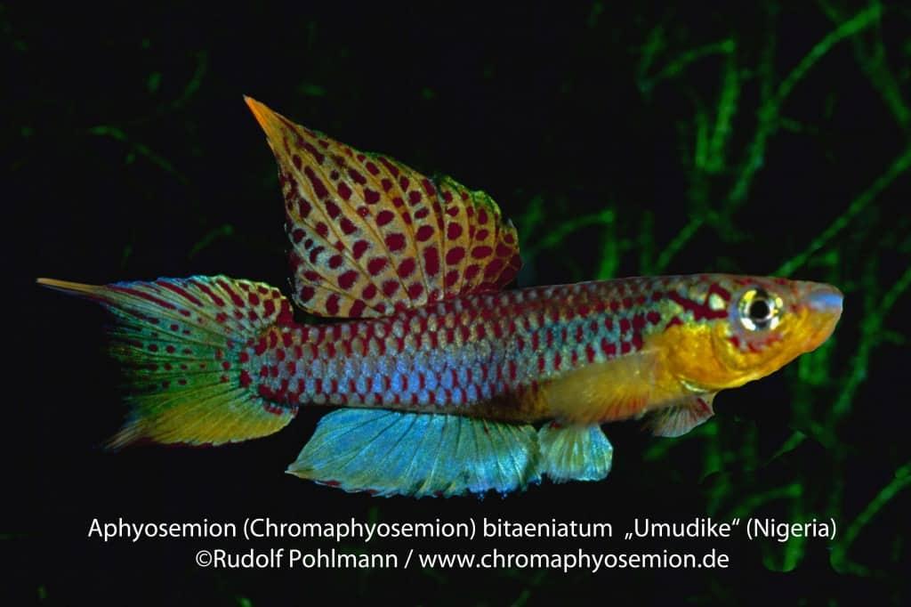 Aphyosemion bitaeniatum - Zweistreifen-Prachtkärpfling 13