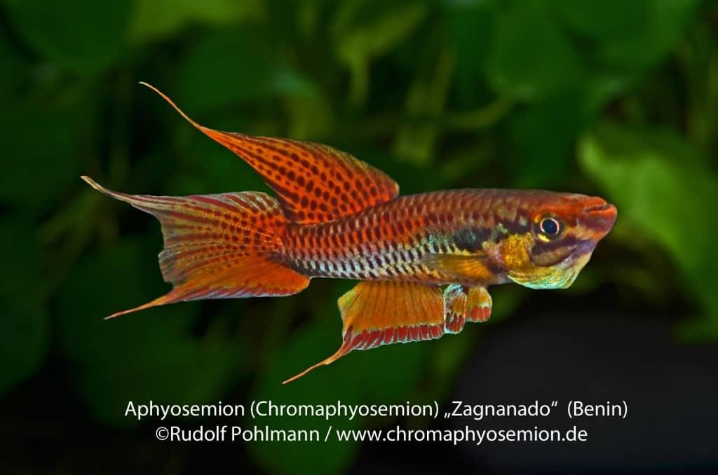 Aphyosemion bitaeniatum - Zweistreifen-Prachtkärpfling 11