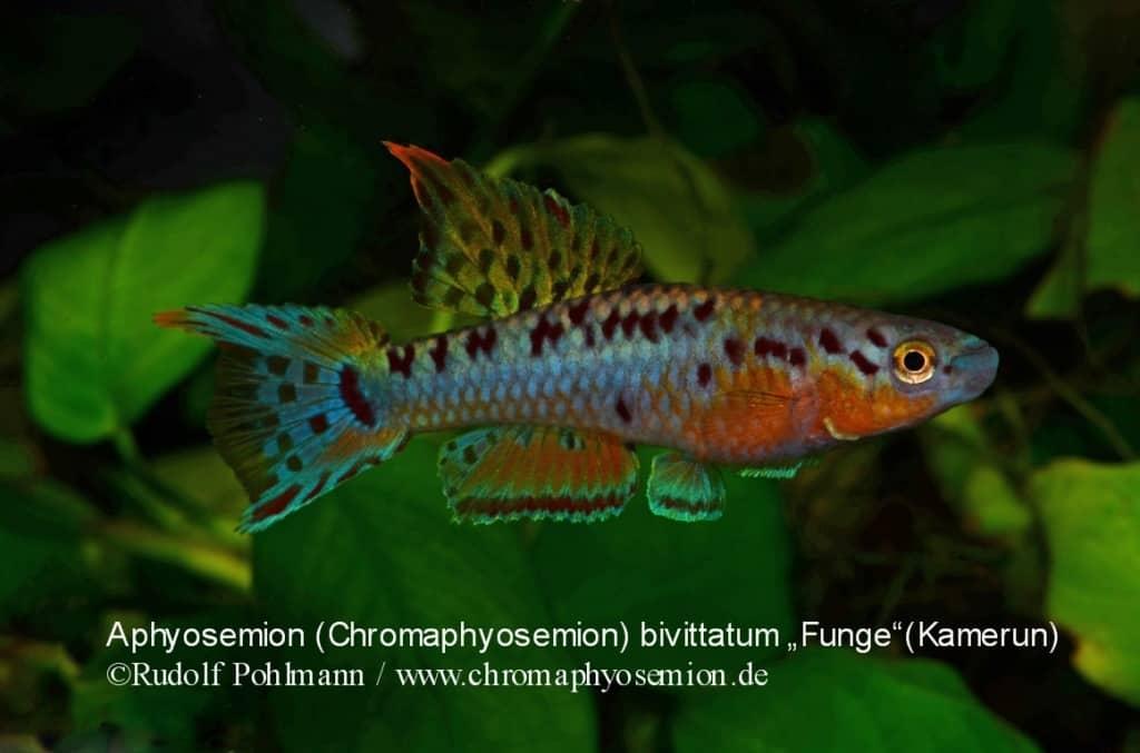 Aphyosemion (Chromaphyosemion) bivittatum 1