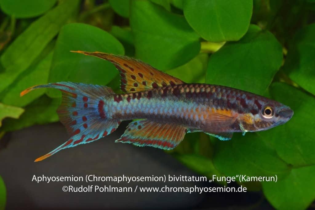 Aphyosemion (Chromaphyosemion) bivittatum 3