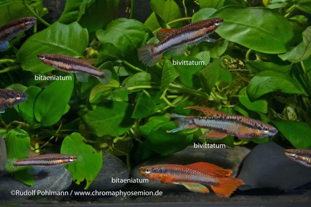 Aphyosemion bitaeniatum - Zweistreifen-Prachtkärpfling 7