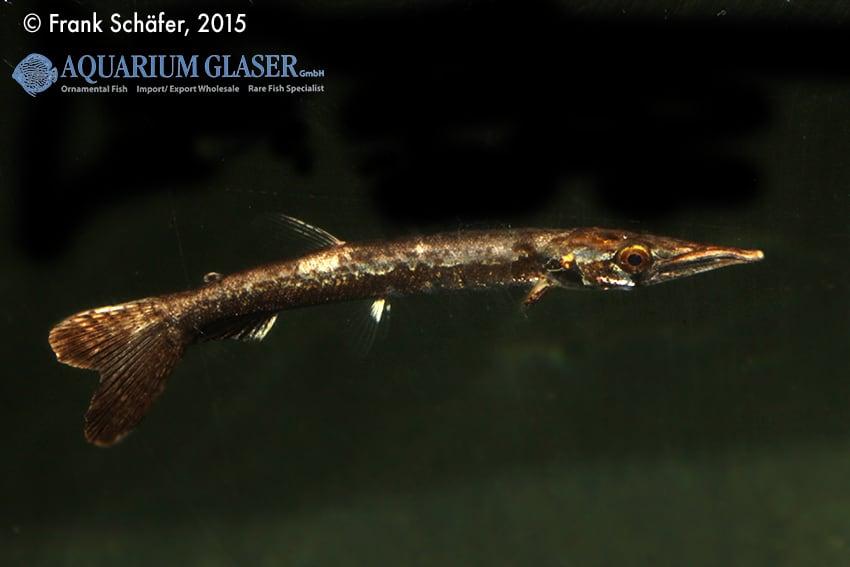 Boulengerella maculata - Gefleckter Hechtsalmler 6