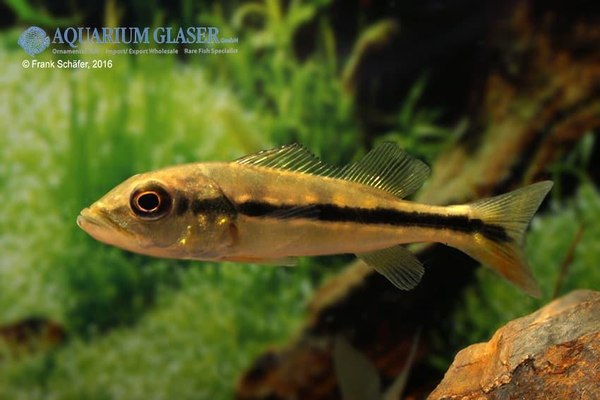 Cichla temensis – Humboldt-Kammbuntbarsch 5