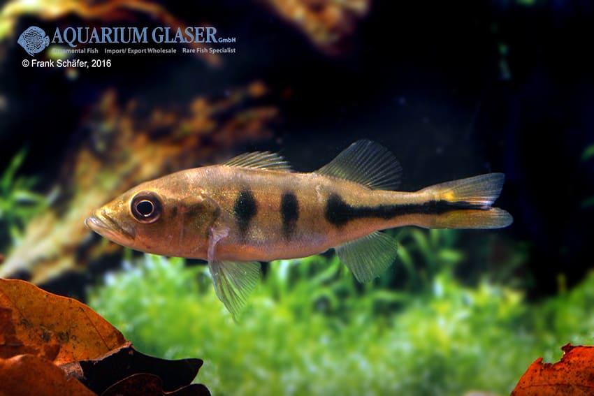 Cichla temensis – Humboldt-Kammbuntbarsch 6