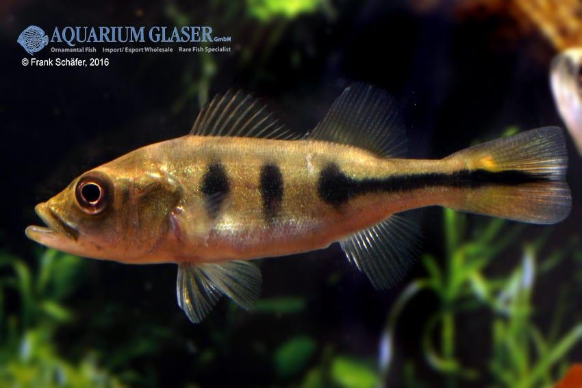 Cichla temensis – Humboldt-Kammbuntbarsch 7
