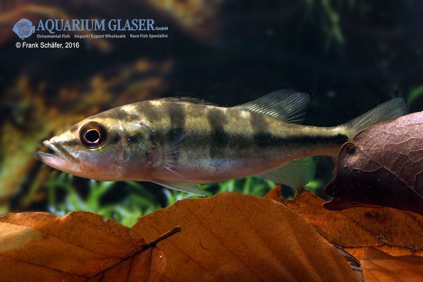Cichla temensis – Humboldt-Kammbuntbarsch 9