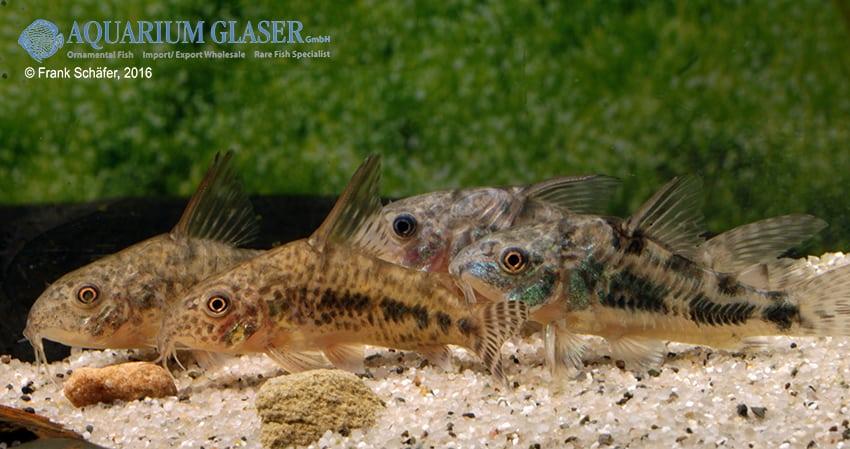 Corydoras diphyes - Pfeffer-Panzerwels 4