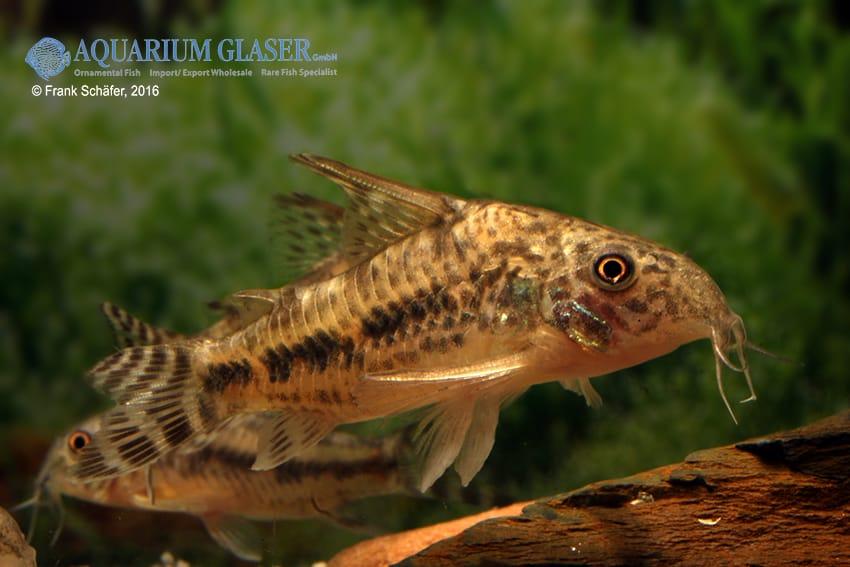 Corydoras diphyes - Pfeffer-Panzerwels 5
