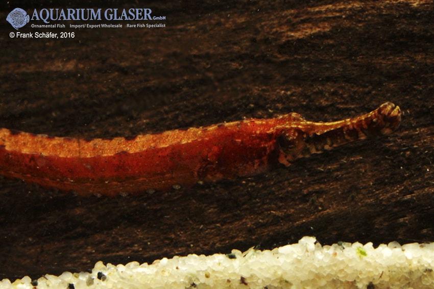 Enneacampus ansorgii - Rote Süßwassernadel 9