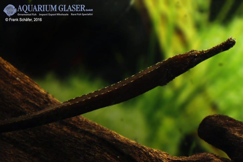 Enneacampus ansorgii - Rote Süßwassernadel 12