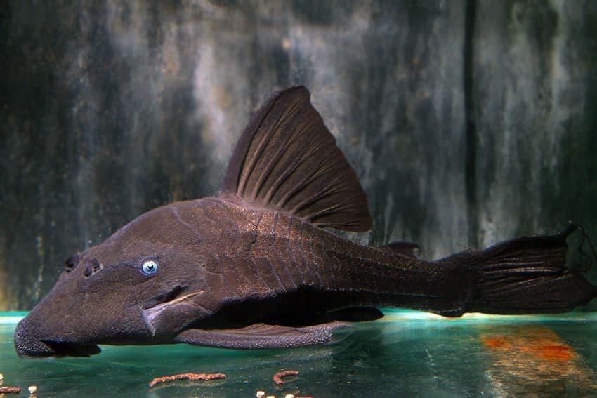 Panaque cochliodon blauaugen panaque my fish for Seltene zierfische