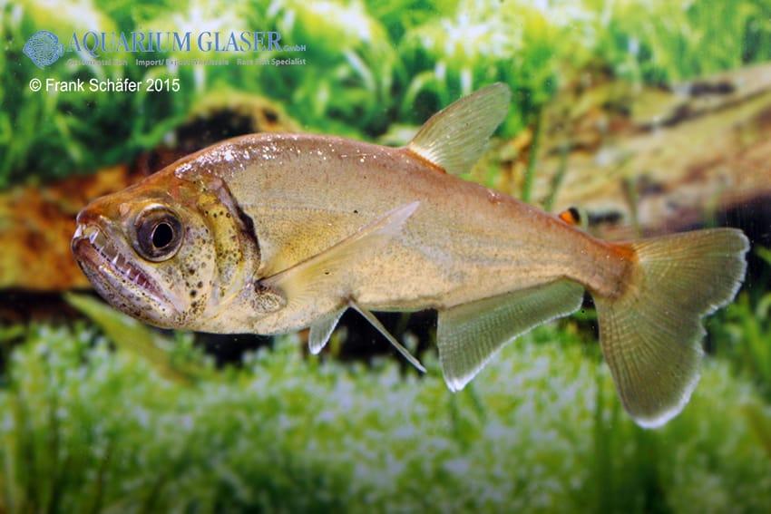 Hydrolycus armatus - Weißsaum-Säbelzahnsalmler 6