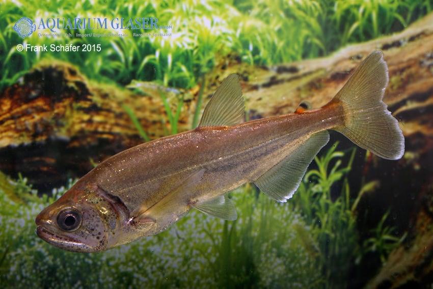 Hydrolycus armatus - Weißsaum-Säbelzahnsalmler 10
