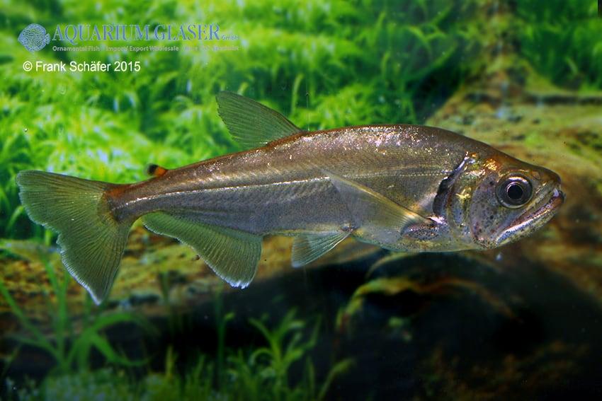 Hydrolycus armatus - Weißsaum-Säbelzahnsalmler 7