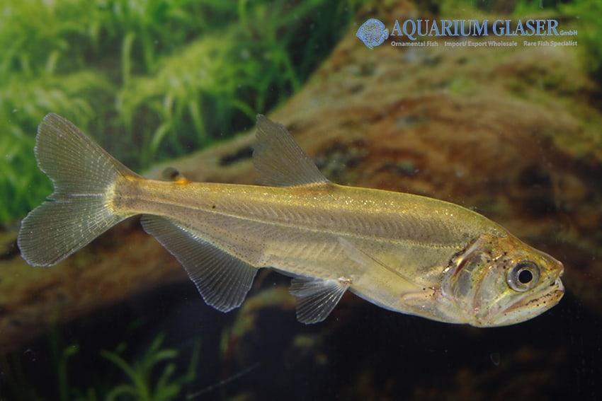 Hydrolycus armatus - Weißsaum-Säbelzahnsalmler 4
