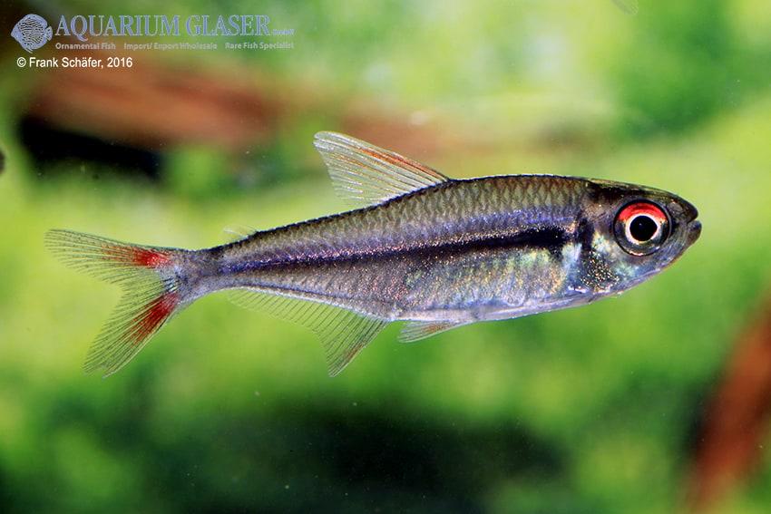 Hyphessobrycon cf. melanostichos - Salmler 4
