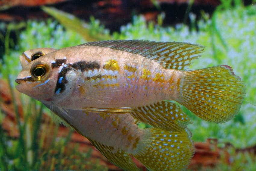 Laetacara araguaiae - Buckelkopf-Tüpfelbuntbarsch 3