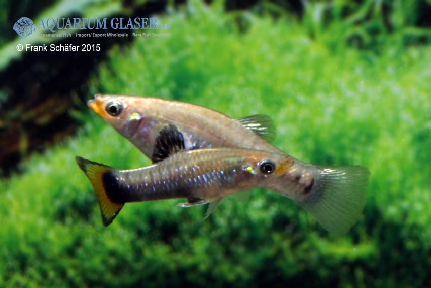 Limia melanogaster - Jamaika-Kärpfling 4