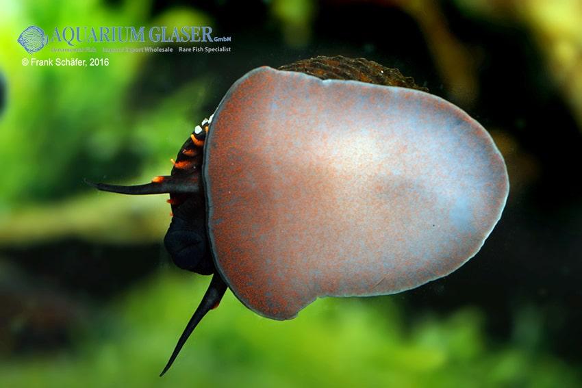 Paludomus loricata - Teufelsschnecke 4