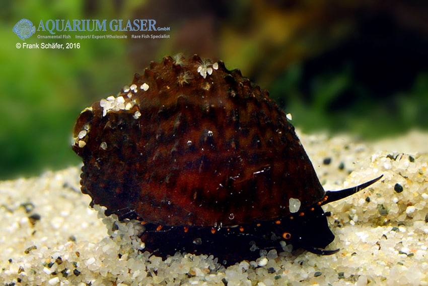 Paludomus loricata - Teufelsschnecke 5