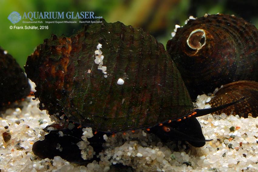 Paludomus loricata - Teufelsschnecke 7