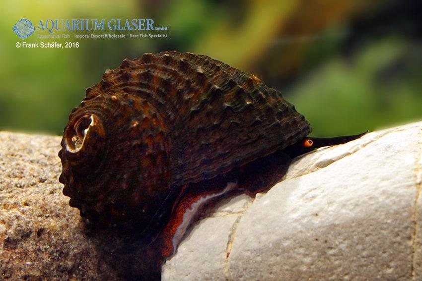Paludomus loricata - Teufelsschnecke 8