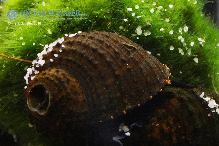Paludomus loricata - Teufelsschnecke 9