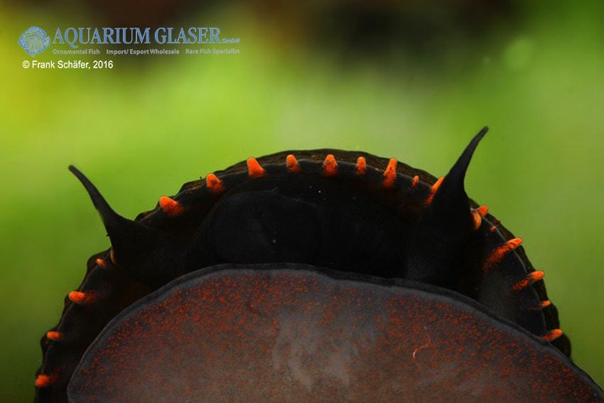 Paludomus loricata - Teufelsschnecke 10