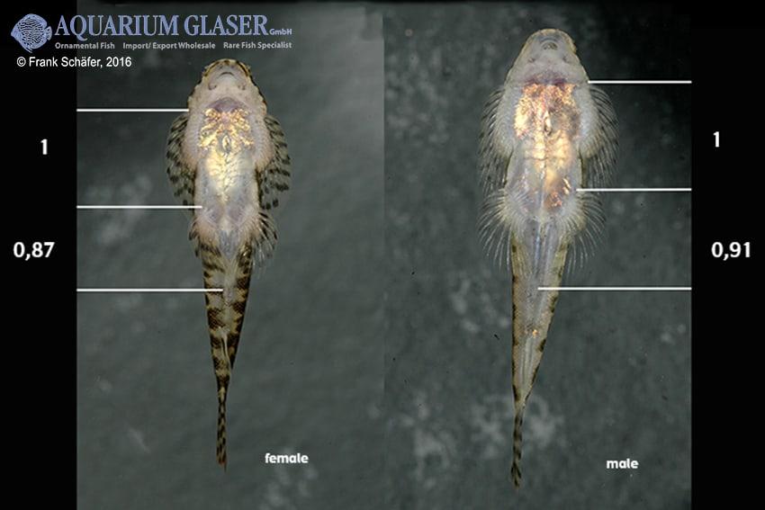 Pseudogastromyzon cheni - Rotflossen-Flossensauger 3
