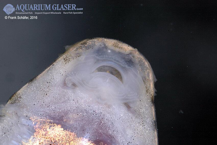 Pseudogastromyzon cheni - Rotflossen-Flossensauger 5