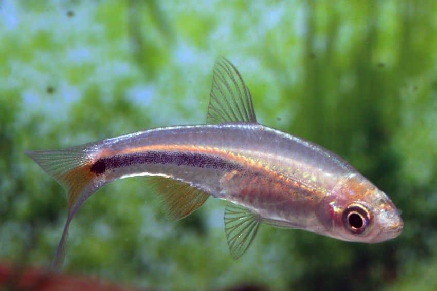 Rasbora paucisqualis - Bärbling 2
