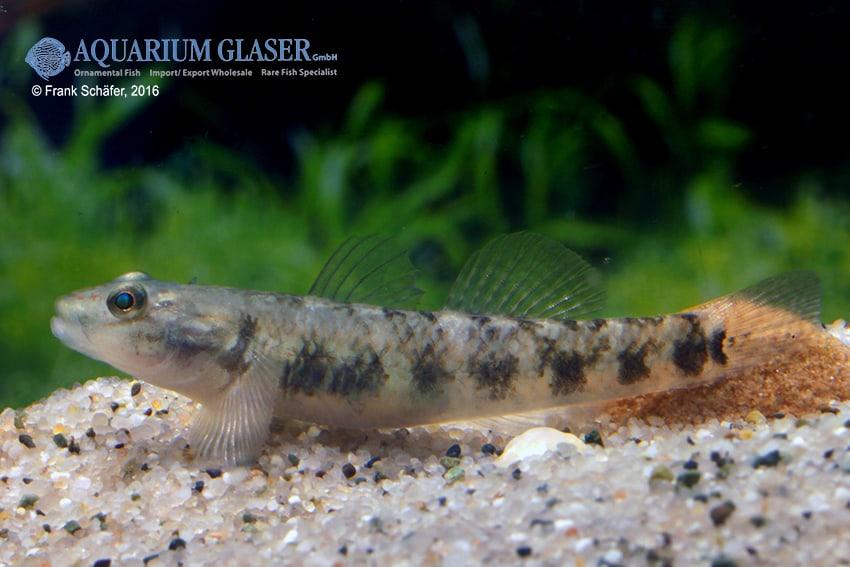 Rhinogobius maculafasciatus - Gestreifte Rotpunktgrundel 1