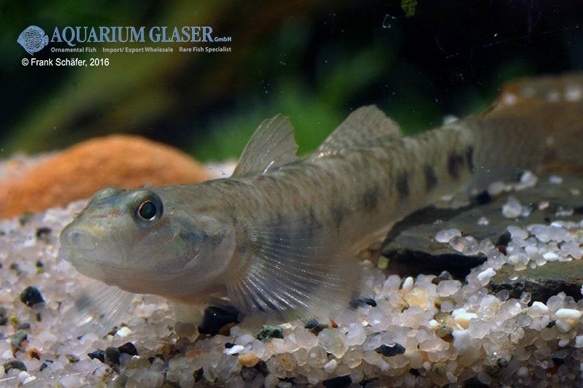 Rhinogobius maculafasciatus - Gestreifte Rotpunktgrundel 2