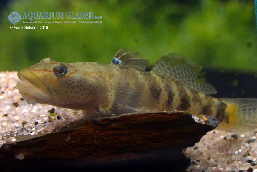Rhinogobius maculafasciatus - Gestreifte Rotpunktgrundel 3