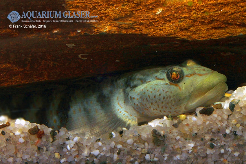 Rhinogobius maculafasciatus - Gestreifte Rotpunktgrundel 4